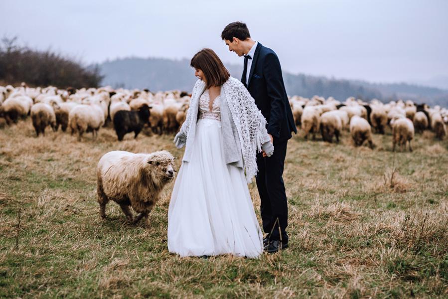 Sesja ślubna z owcami